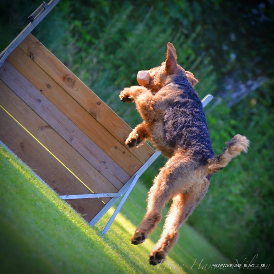 Airedale Terrier Obedience