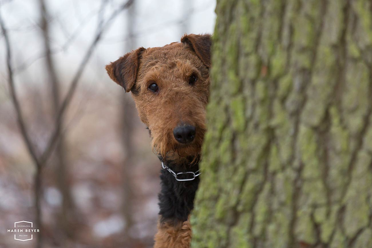 Fotoworkshop mit Maren Beyer, Harriet Rosenthal und Airedale Terrier