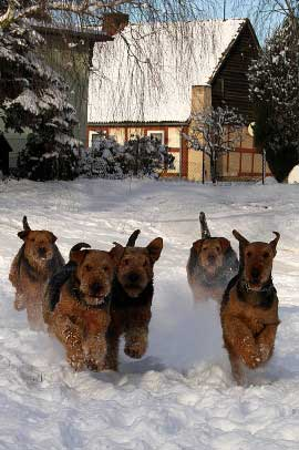 08_Airedaleterrier_im_Winter.jpg