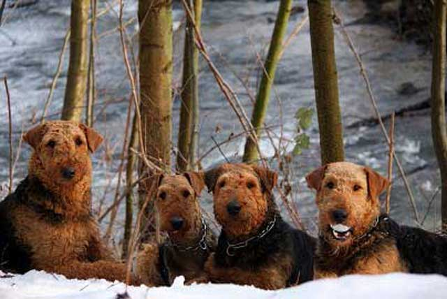 09_Airedaleterrier_im_Winter.jpg