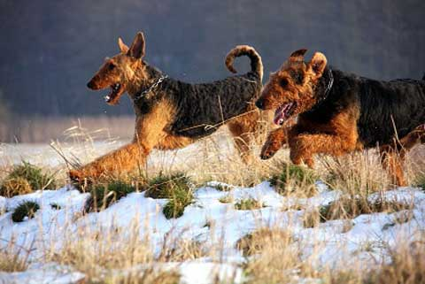 10_Airedaleterrier_im_Winter.jpg