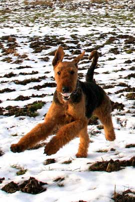 11_Airedaleterrier_im_Winter.jpg