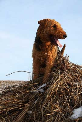 12_Airedaleterrier_im_Winter.jpg