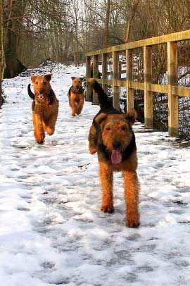 13_Airedaleterrier_im_Winter.jpg