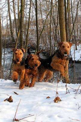14_Airedaleterrier_im_Winter.jpg