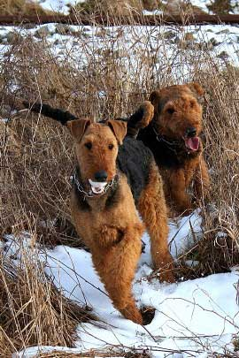 15_Airedaleterrier_im_Winter.jpg