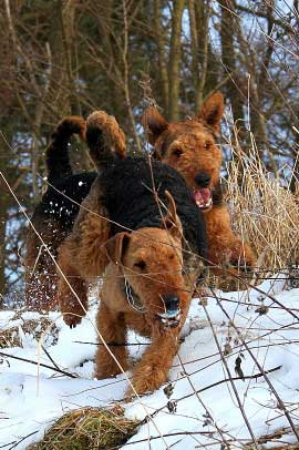 17_Airedaleterrier_im_Winter.jpg