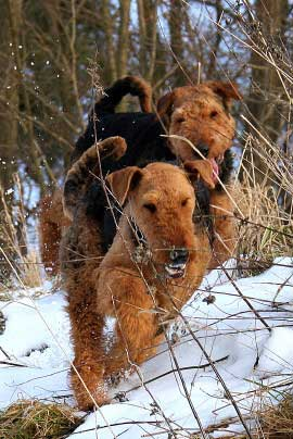 18_Airedaleterrier_im_Winter.jpg