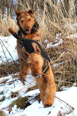 19_Airedaleterrier_im_Winter.jpg