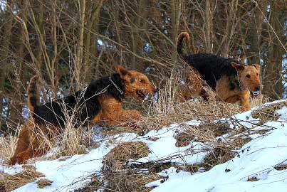 20_Airedaleterrier_im_Winter.jpg