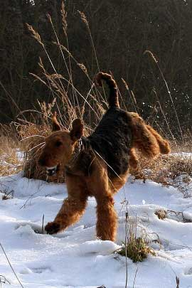 22_Airedaleterrier_im_Winter.jpg