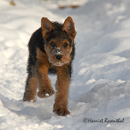 files/images/Welpen/Welpen_Airedale_Terrier_Erikson_01.jpg