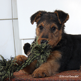 files/images/Welpen/Welpen_Airedale_Terrier_Erikson_02.jpg