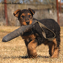 files/images/Welpen/Welpen_Airedale_Terrier_Erikson_03.jpg